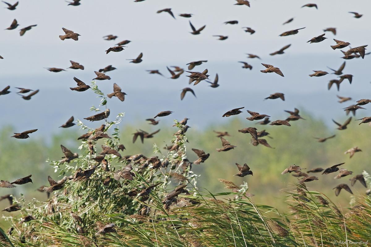 Die Vögel....., Star (Sturnus vulgaris)
