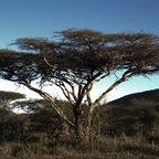 Afrika #19 - The Tree