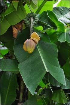 Opatija, Angiolina Park, Bananenblüte
