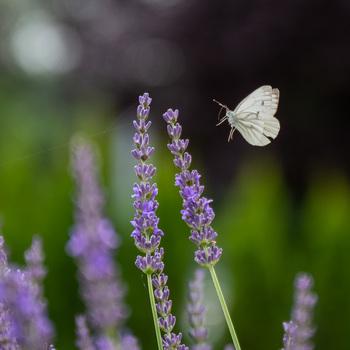 Schmetterling im Anflug auf den Lavendel