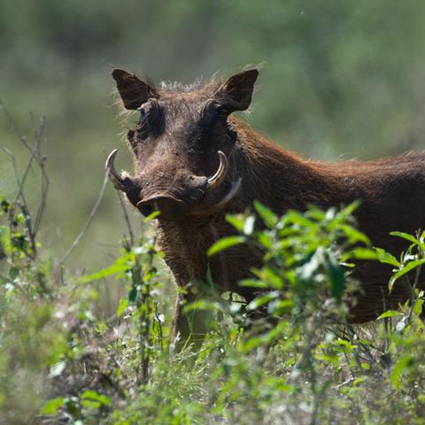 Afrika #1 - Warzenschweinbache