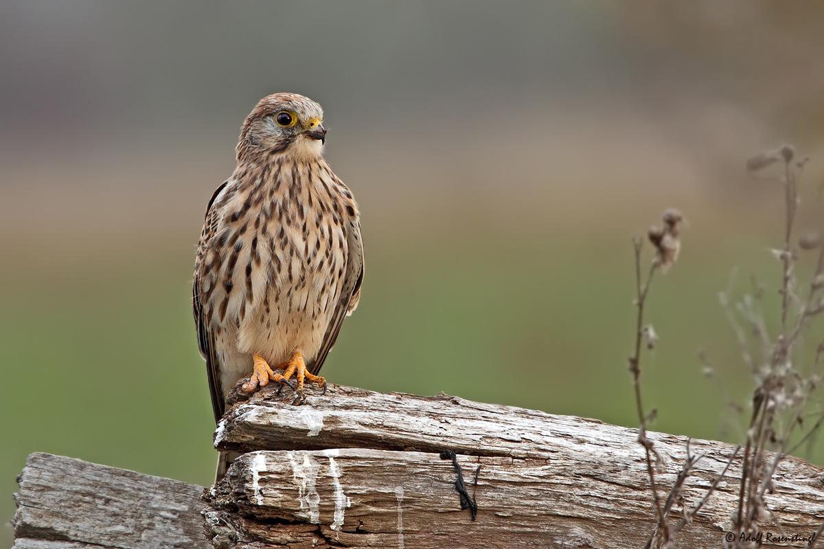 Turmfalke (Falco tinnunculus) ♀