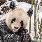 Pandapicknick im Schnee