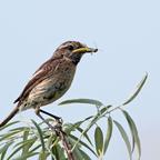 Schwarzkehlchen Weibchen mit Snack
