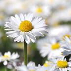 Lovely Daisy Meadow - soon