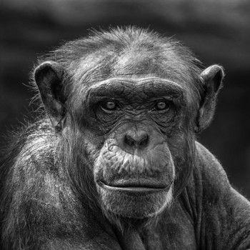 Affe im Zoo
