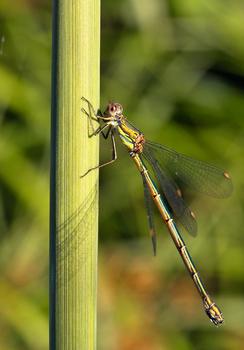 Libelle genießt die ersten Sonnenstrahlen des Tages