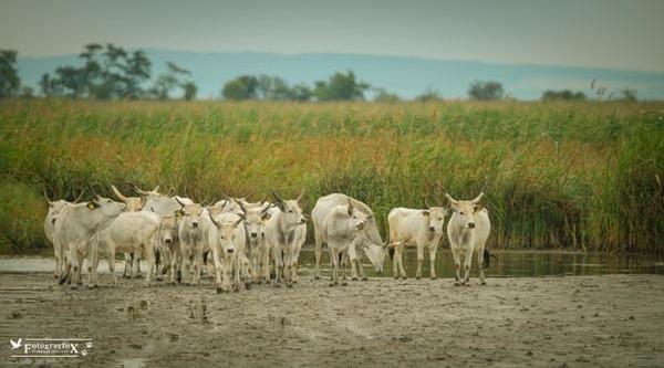 Ungarische Steppenrinder