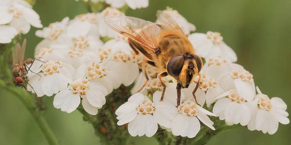 Biene mit Fliege auf einer Schafgarbe