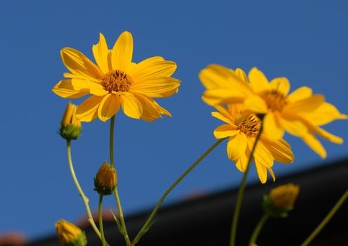 Die letzten Blüten überm Dach