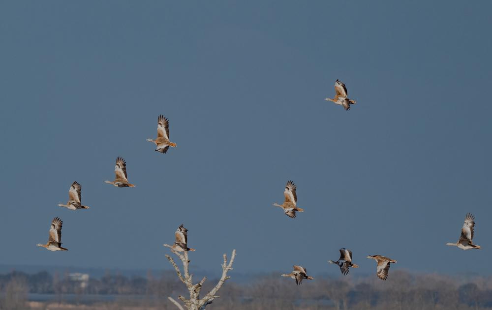 Die größten flugfähigen Vögel Europas...