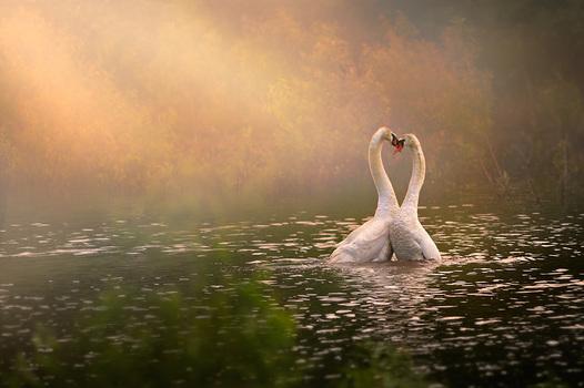 Schwäne am Teich