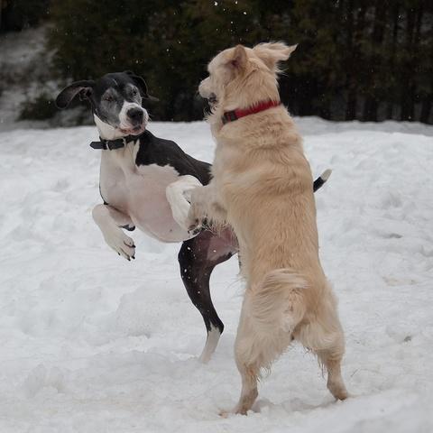 Tanzende Hunde
