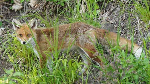 Fuchs in Kaltenleutgeben