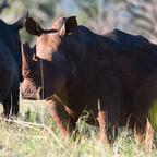 Afrika #22 - White Rhino 2