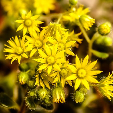Sukkulenten in voller Blüte