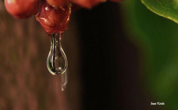 Wasserbirne