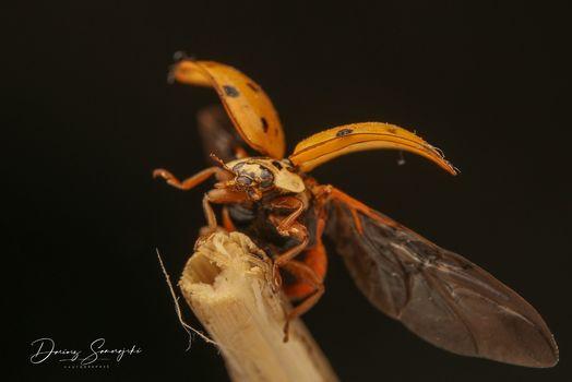 Asiatische Marienkäfer