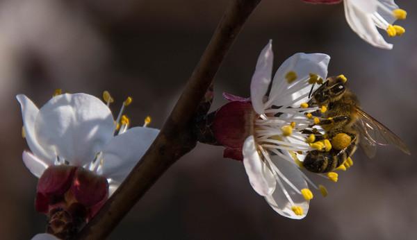 Biene auf Marillenbaum