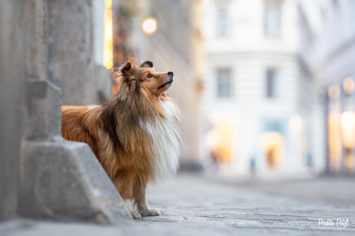 Stadthund