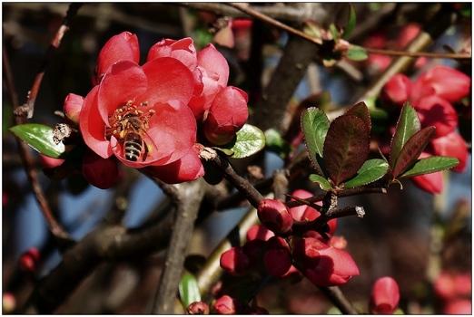 Zierquitte mit Biene