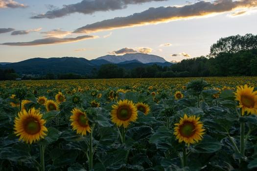 Sonnenblumen im letzten Tageslicht