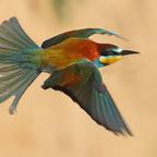 Bienenfresser (Merops apiaster) im Flug