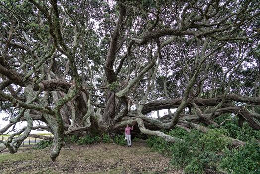 Der Pohutukawa Baum , ca 350 Jahre alt