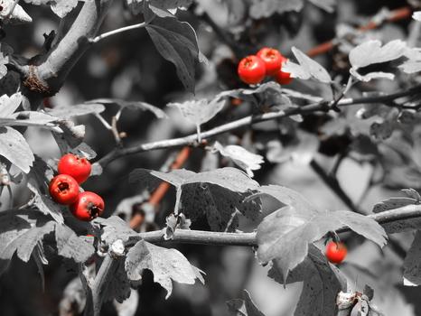 Rote Beeren am Baum
