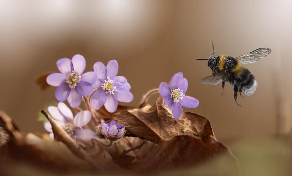 Hummel Leberblümchen