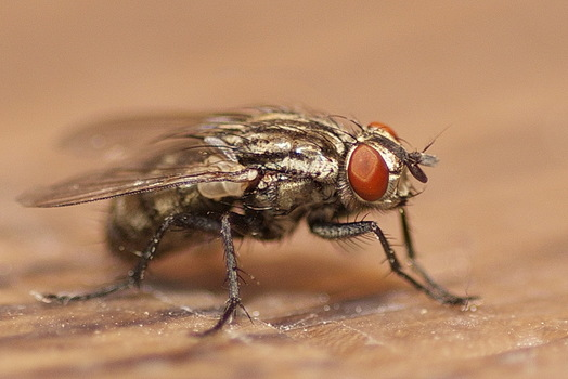Lebende Fliege