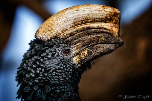 Silberwangenhornvogel