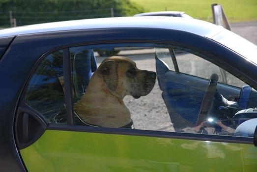 Dogge fährt Smart :-))!