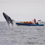 Island Whale watching vor Husavik