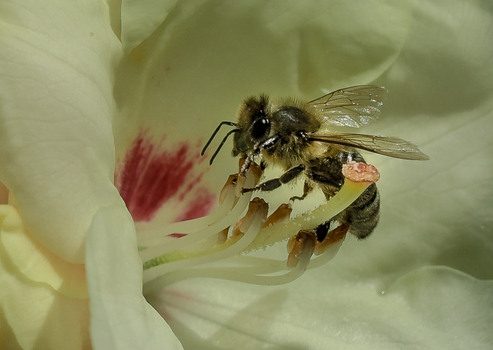 Biene beim Arbeiten