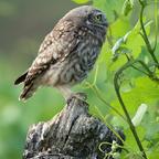 Steinkauz (Athene noctua) Jungvogel (3)