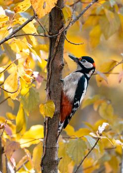 Specht im Herbstwald