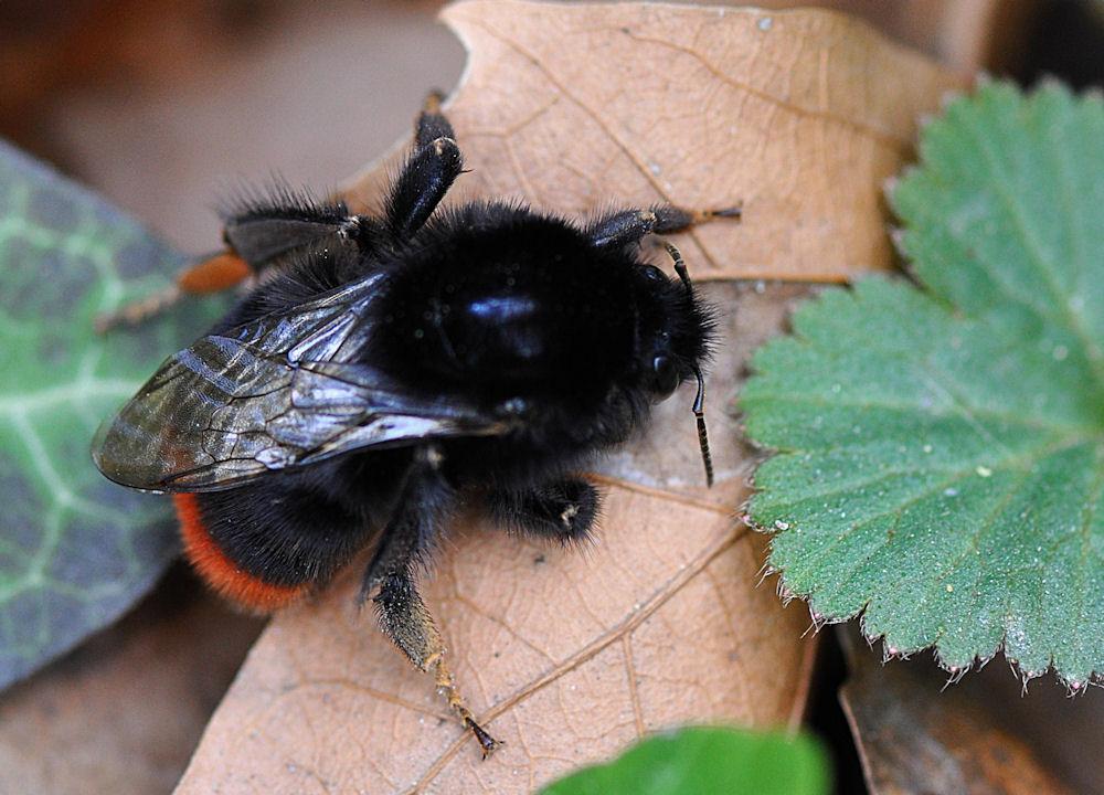 Schwarzkopf mit Flügel