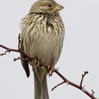 Grauammer (Emberiza calandra)