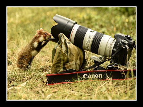 Feldhamster mit Kamera