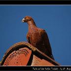 die Taube auf dem heißen Tondach...