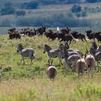 Afrika #25 - Zebra Eland Weißschwanzgnus