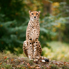 Gepard mit Fuji 200ASA