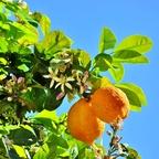 Orangen-Blüte
