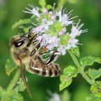 Honigbiene + Solitär Biene ?