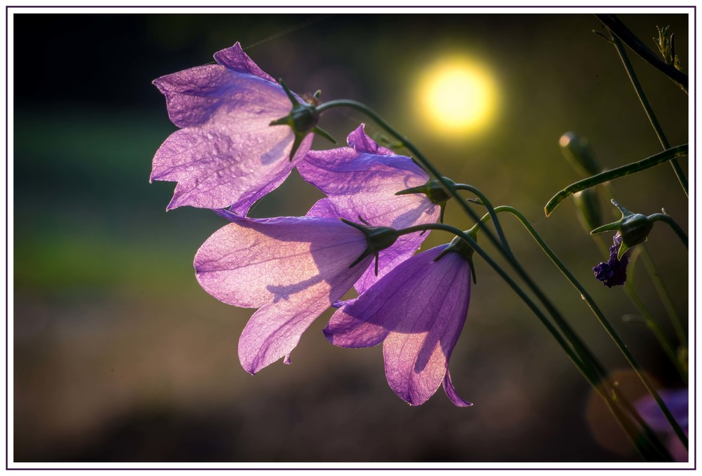 Glockenblumen im Abendlicht