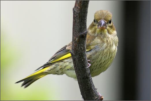 Grünfink von unten
