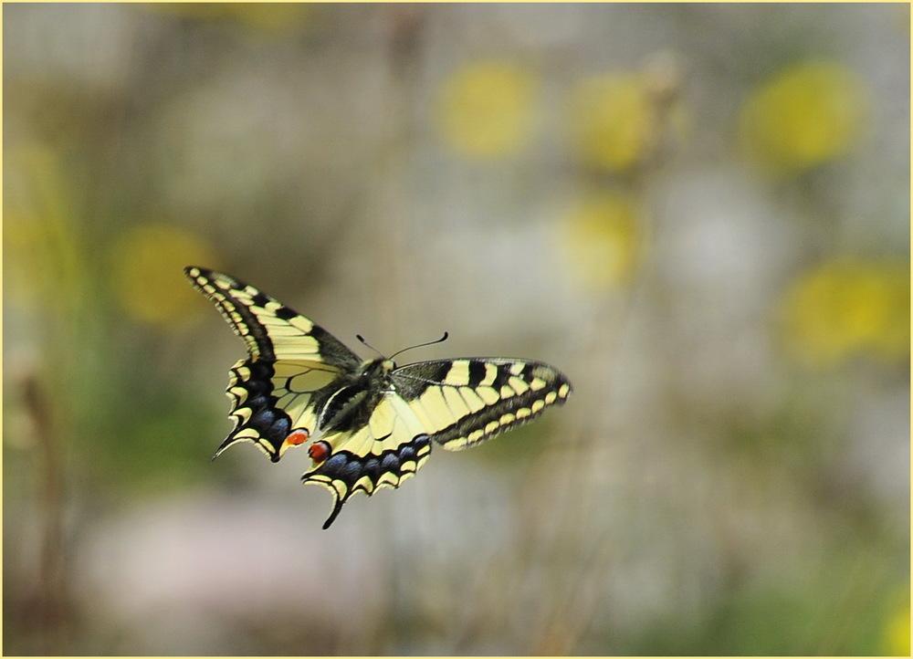 Schwalbenschwanz im Flug