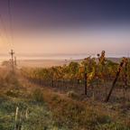 Weinherbst im Nebel