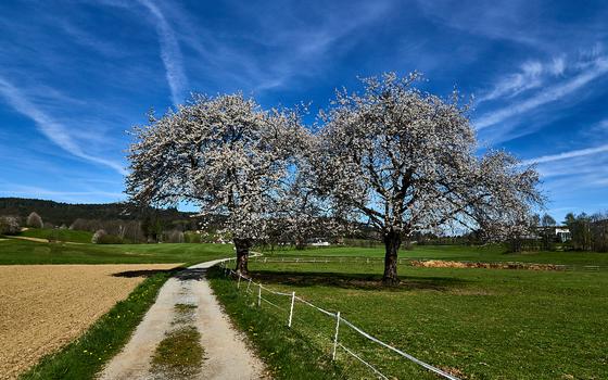 Baumblüte im Waldviertel